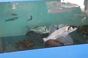 En en anuncio de la entrada decían que tenían vivero propio. Aquñi tienen algunos ejemplares. Si usted elige alguno de esos peces los tendrá en el plato fresquísimos.