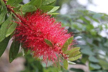 """Preciosa inflorescencia de """"Callistemon citrinus"""" en un  jardín privado de Fuengirola"""