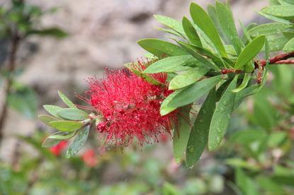 """Preciosa inflorescencia de Callistemon citrinus en un jardín privado de Fuengirola. El nombre popular es """"árbol del cepillo"""", """"escobillón rojo"""" o """"plumero rojo"""""""