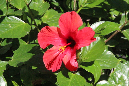Hibiscus (hibiscos) en la plaza de San Rafael