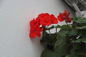 A veces, un sencillo geranio sobre una pared encalada produce una extraña sensación de paz y belleza