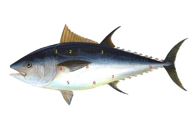 Partes del atún rojo. El atún es una foto de dominio público conseguida a través de Wikimedia. Los números son míos.