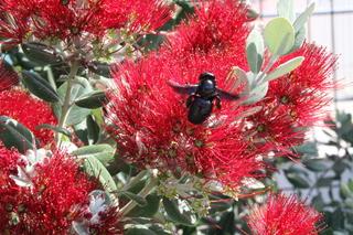Insecto libando del escobillón rojo