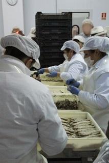Trabajadores limpiando y preprando las caballas