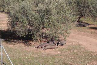 Cerdos ibéricos, de piel negra, bajo un olivo, en la finca de Sierra de Parapanda