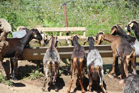 En la casa tienen cabras