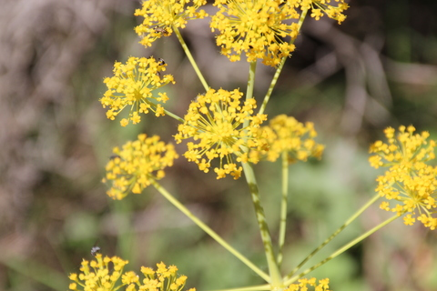 Es posible que sea Hinojo (Foeniculum vulgare)