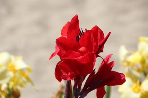 Ni idea de cómo se llama esta flor, pero intenso color rojo me ha gustado