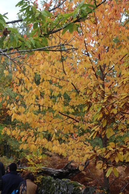 En la finca, un castaño vestido de otoño y nosotros entrando en el recinto.