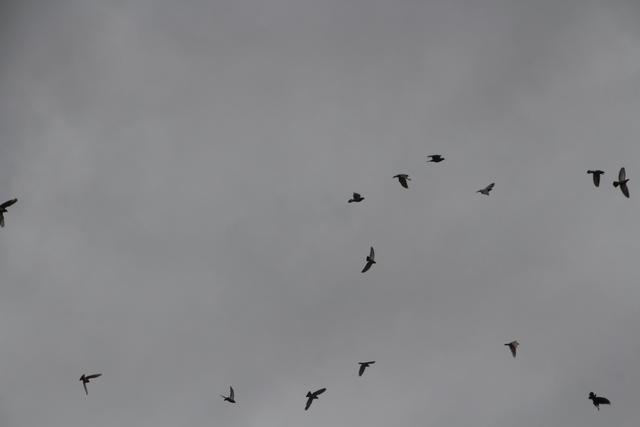 El día estaba nucblado. De hecho nos llovió, pero eso nos dio la oportinidd de fotografiar a los pájaros volando sobre un fondo gris.