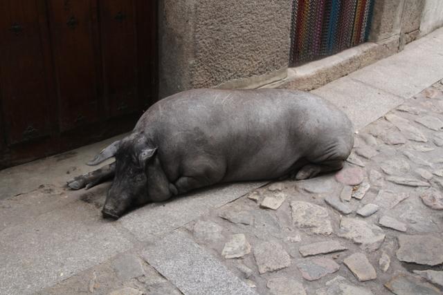 El cerdo de San Antón.