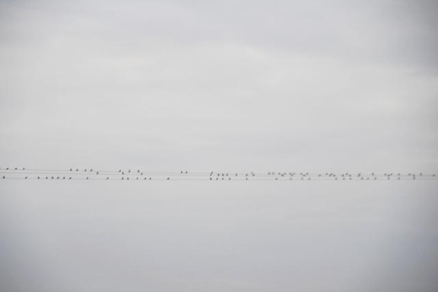 Algunos pájaros usan un cable de la electricidad para agruparse, probablemente para iniciar la migración a tierras del sur.