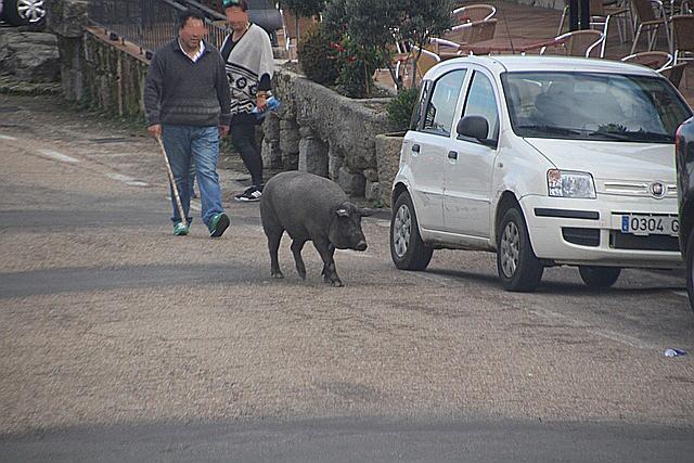 Tony, el cerdo de San Antón.