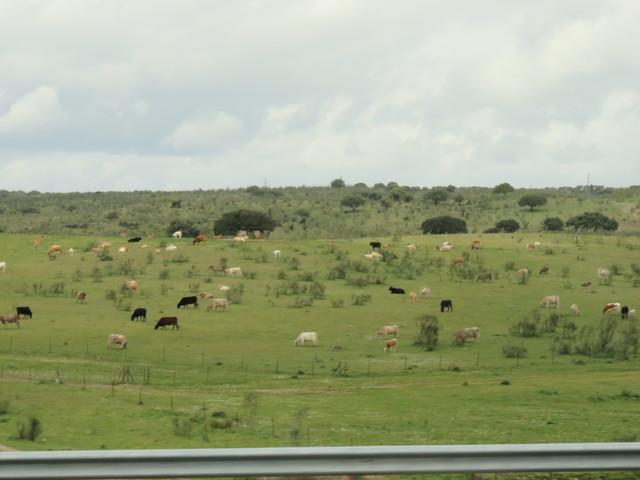 Vacas en los campos salmantinos.