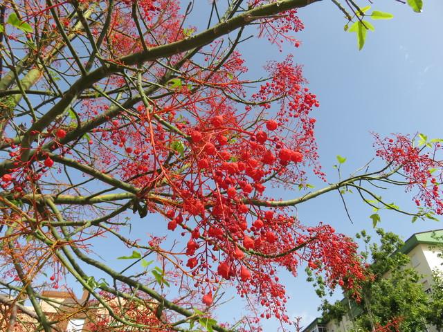 Árbol lleno de flores rojas un poco antes d empezar la merienda.