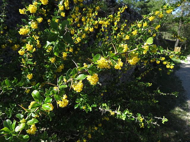Se trata de la planta conocida como Arlo o Agracejo y cuyo nombre cientñifico es Berberis vulgaris.