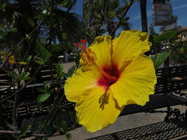 Hibiscus amarillos