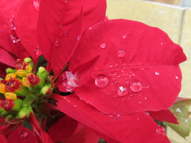 Poinseitias.