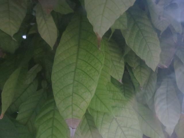 Un detalle de ls hojas de cacao a través del plśtico del invernadero.
